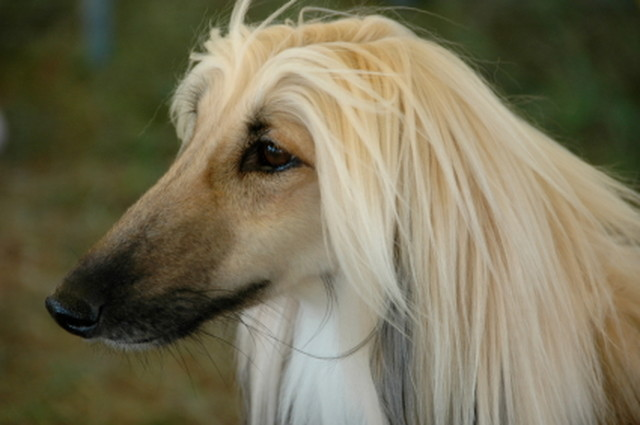 Afghan_Hound_Cream_Face.86729391